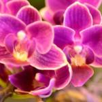 Im Januar aktuell:  Orchideen