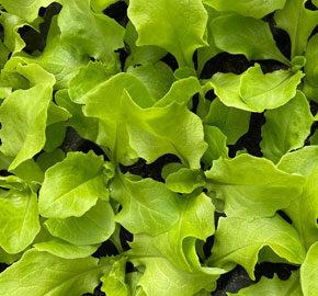 Ab Sofort Salat- und Blumenkohlsetzlinge aus eigener Produktion!